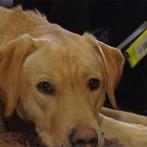 Perros guía para enfermos de demencia