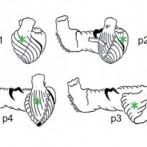 Estudio sobre la estructura del corazón