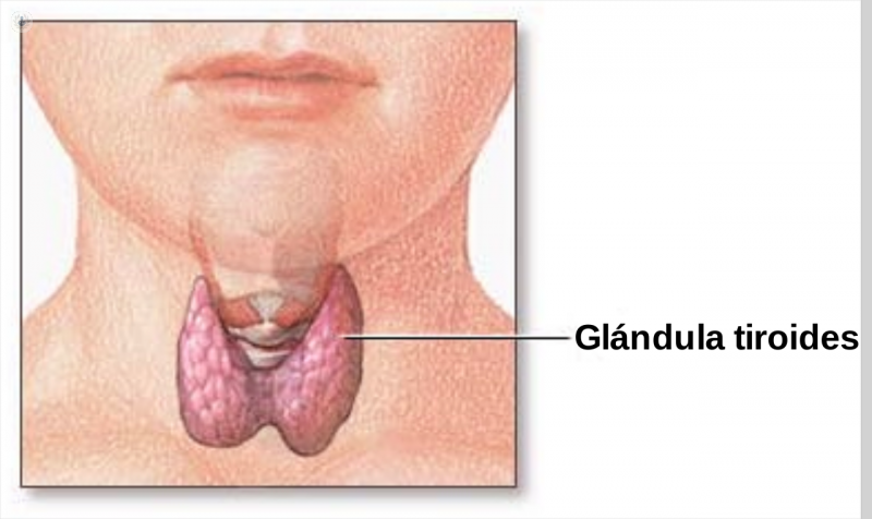 thyroid gland image