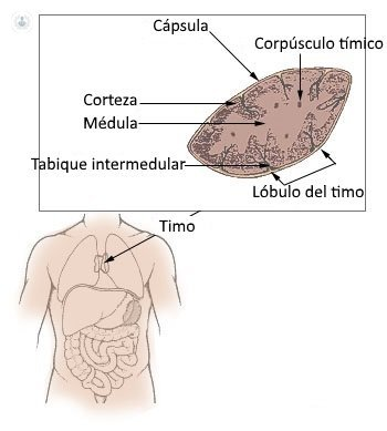 Glándula Timo: función e importancia | Hematólogo - Murcia